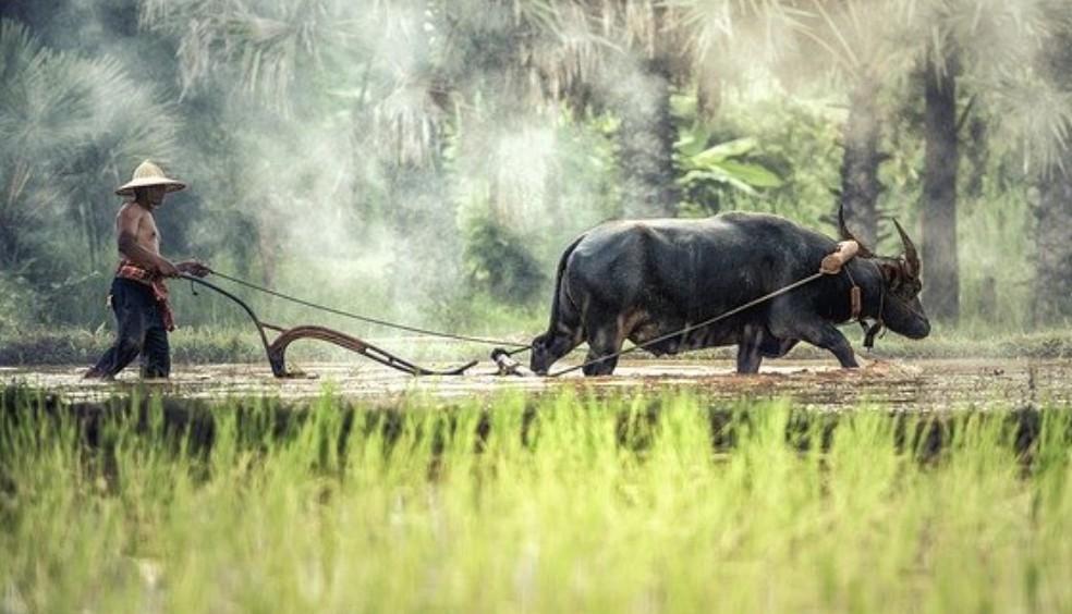 culture du riz au Laos